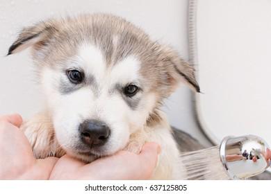Puppy of Alaskan Malamute in the bath