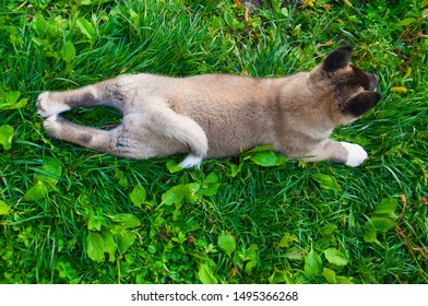 A puppy of American akita's dog lay on its belly on the green grass.