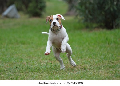 Puppy American Staffordshire Terrier playing on green grass