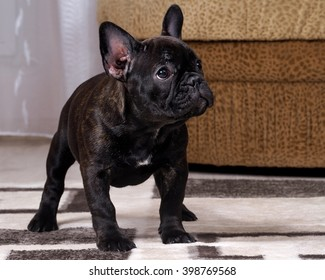 A puppy in the apartment. Dog thoroughbred. French Bulldog. Puppy three months