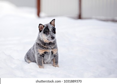 Puppy of the Australian cattle dog