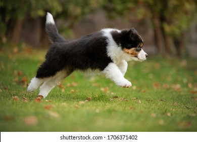 Puppy australian shepherd plays. Pet plays . dog in the yard on the grass