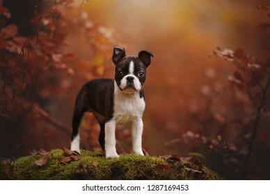 Puppy in autumn. Colourful portrait. Boston terrier puppy in autumn.