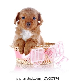 Puppy in a basket. Puppy in a wattled basket with a bow. Puppy of a decorative doggie. Decorative dog. Puppy of the Petersburg orchid on a white background