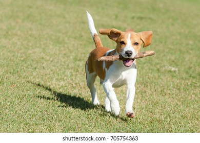 puppy beagle Bicolor caramel and white running with a wooden stick in the mouth on a lawn Green on a sunny day