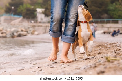 Puppy beagle running near it owner legs. Close up image