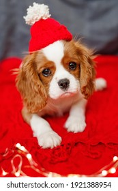 Puppy of beautiful brown white Cavalier King Charles Spaniel in a red santa hat on red background.
