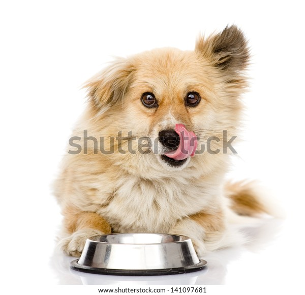 puppy begging for food. looking at camera. isolated on white background