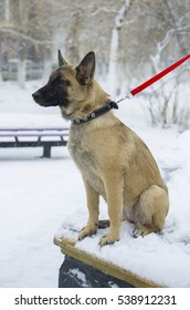 """Puppy Belgian shepherd """"Malinois"""" walks in the Park during a snowfall. It is winter time."""