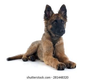 puppy Belgian Shepherd Tervuren in front of white background
