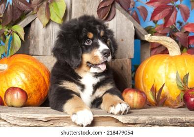 puppy Bernese mountain dog and pumpkin