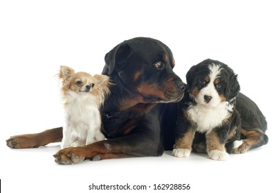 puppy bernese mountain dog, rottweiler and chihuahua in front of white background