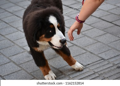 Puppy of Bernese Mountain Dog shy at being approached by a stranger