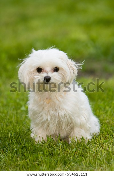 Puppy of Bichon dog playing in garden with green grass