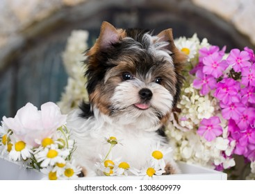 Puppy of a Biewer Yorkshire Terrier and flowers