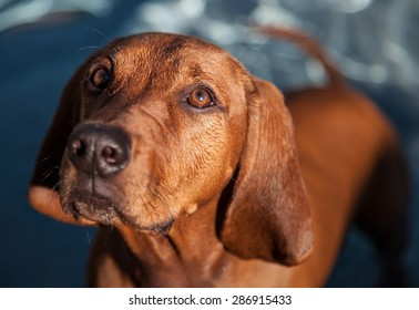 PUPPY with big ears | Shallow focus of a purebred dog, Redbone Coonhound in front of water.