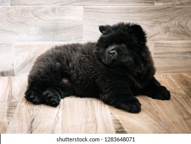 Puppy black chow-chow