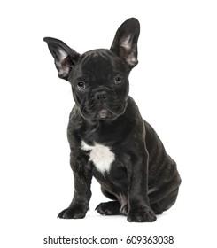 Puppy Black French bulldog sitting , isolated on white