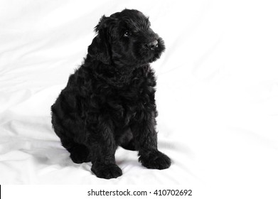 puppy of black terrier on white background