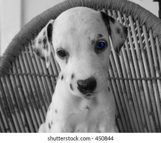 Puppy with blue eye (B&W Photo)