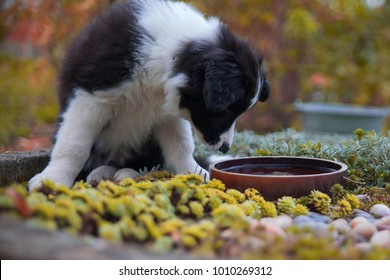puppy border collie in autumn drinks from a bowl