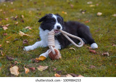 puppy border collie in autumn lying with toy