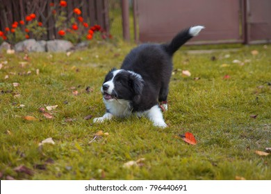 puppy border collie in autumn playing