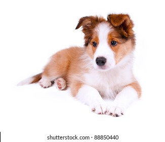 puppy of the border collie dog on the white
