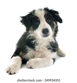 puppy border collie in front of white background