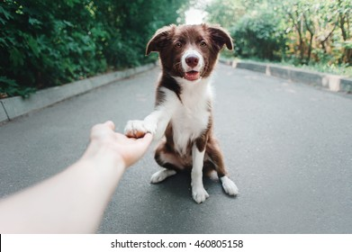 puppy Border Collie gives paw