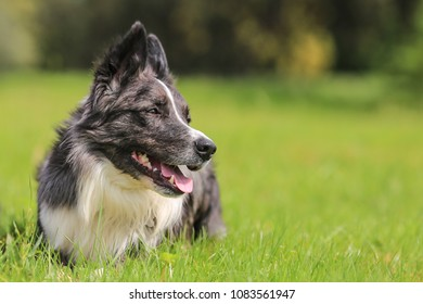 Puppy, border, collie, shepherd, dog, pet, animal, outdoor, outside, purebred, female, obedient, cute, grass, nature, spring, flower, work, positive, posing, training,