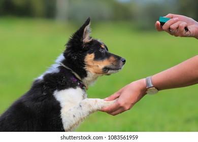 Puppy, border, collie, shepherd, dog,