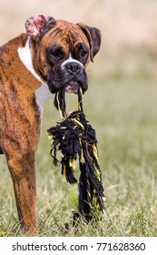 Puppy Boxer dog playing with a tug rope in a field on a sunny day.