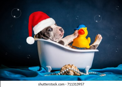 puppy of the breed American Staffordshire Terrier is in the bath in the New Year's cap