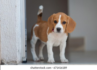 Puppy of breed Beagle two colors, white and caramel lying on a blue pad with a red toy in the mouth