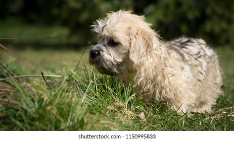 Puppy, breed Dandie dinmont terrier is watching insects in the grass with concentration