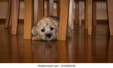Puppy breed Dandie dinmont terrier.  Puppy was playing and now  feels tired, taking the resting time
