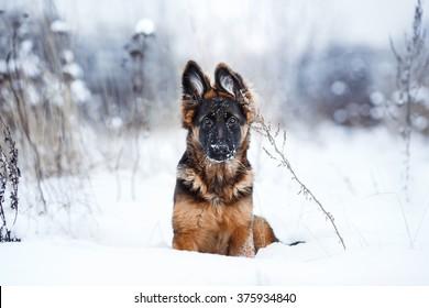 puppy breed German Shepherd walking in winter park