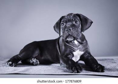 puppy breed Italian Cane Corso