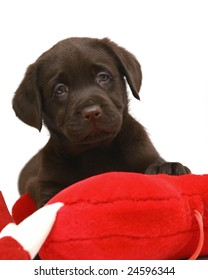 Puppy of breed Labrador with a red toy on a white background.