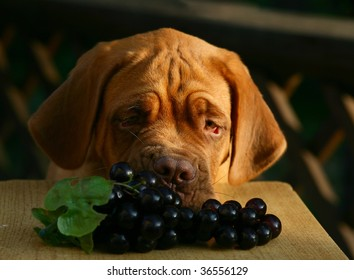 Puppy of breed a mastiff from a Bordeaux with grapes.