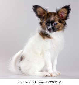 Puppy of breed papillon on a gray background