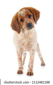 puppy brittany spaniel in front of white background