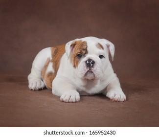 puppy of bulldog in the studio