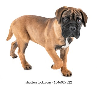 puppy bullmastiff in front of white background