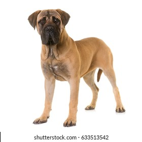 Bullmastiff Images Stock Photos Vectors Shutterstock