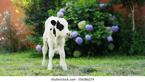 A puppy calf in a garden of a farm of a farmer brought in a healthy, organic, to make it grow strong and sturdy with a diet on milk. concept of love for animals, organic, vegan, nature and agriculture