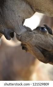 Puppy camel gets milk