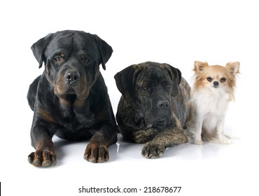 puppy cane corso, chihuahua  and rottweiler in front of white background