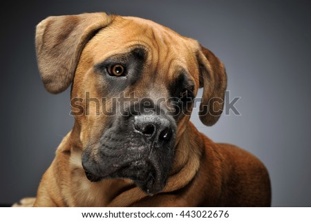 Puppy Cane Corso Portrait Gray Background Stockfoto Jetzt